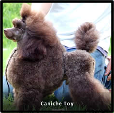 Caniche Toy