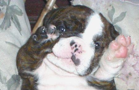 LaMascota.com/deolazabal. Bulldog. Bebés.