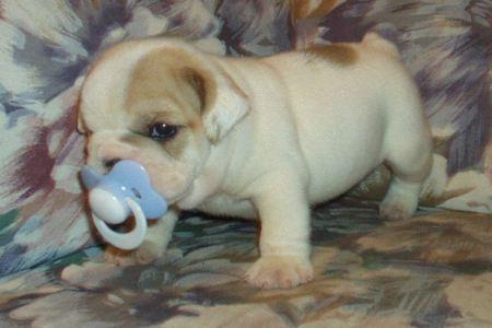 Perritos bebés bulldog - Imagui